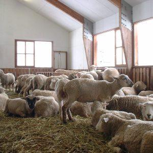 小岩井農場 羊たち