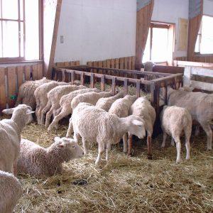 小岩井農場 羊たちお食事中