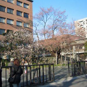 開花までもう少しの石割桜