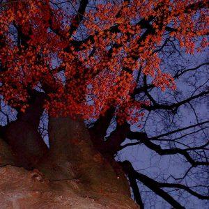 2002年01月トップ画像 01 紅葉の大木
