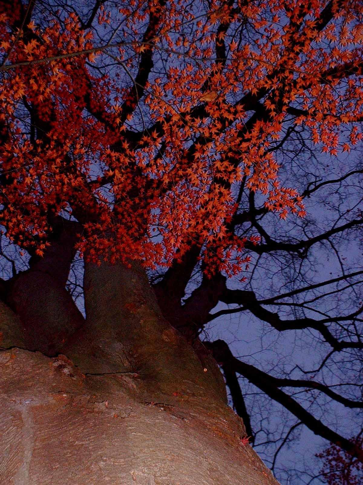 岩手公園の紅葉の大木